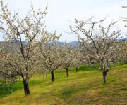 Flor del Cerezo 4